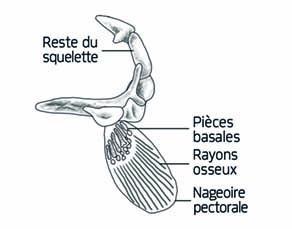 Nageoire pectorale de la Morue de l'Atlantique