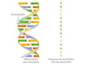 Fragment de molécule d'ADN