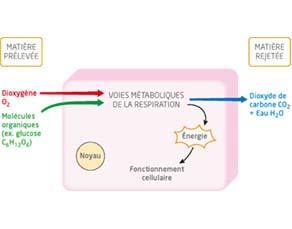 Les voies métaboliques de la respiration