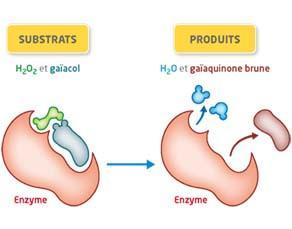 Transformation biochimique réalisée par l'enzyme peroxydase