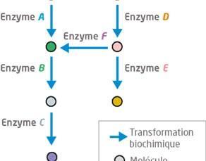 Le métabolisme : des voies métaboliques interconnectées