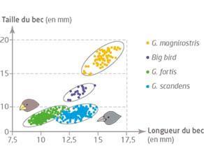 Relation entre longueur et taille du bec des différentes espèces de pinsons de l'île Daphne Major