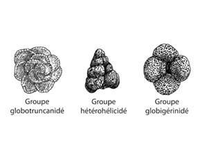 Différents groupes de foraminifères
