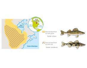 Aires de répartition de deux espèces de dorés au Canada
