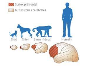 Importance du cortex préfrontal dans le comportement sexuel