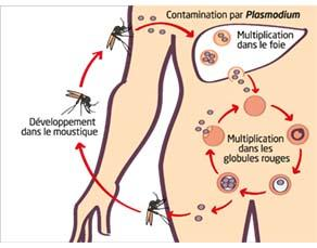 Le cycle évolutif du Plasmodium falciparum