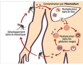 Le cycle évolutif du Plasmodium falciparum