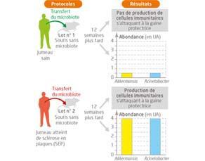 La sclérose en plaques : piste du microbiote intestinal