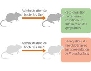 Administration des bactéries Ureˉ et Ure+ à deux lots de souris atteintes de la maladie de Crohn