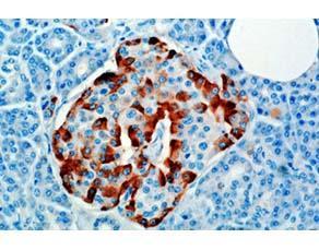 Localisation des cellules productrices d'hormone glucagon, dans le tissu insulaire du pancréas