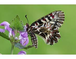 Papillon Diane adulte