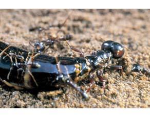 Reine fourmi légionnaire
