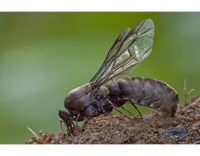 Mâle fourmi légionnaire