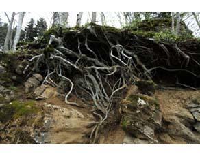 Effets des racines des végétaux sur l'altération des roches