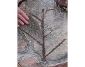 Fossile de Voltzia dans un grès