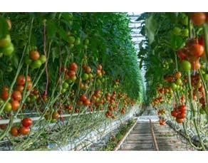 Agriculture intensive de tomates
