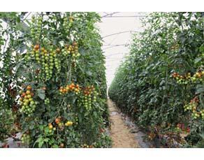 Agriculture extensive de tomates