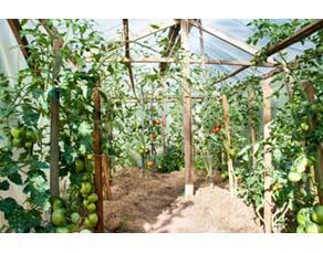 Agriculture vivrière de tomates