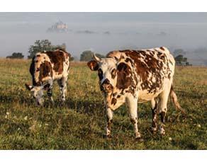 Élevage de vaches normandes