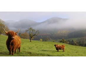 Élevage de vaches Highland