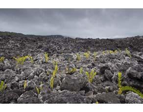 Fougères et lichens colonisant des roches volcaniques