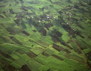 Cultures de café au Rwanda
