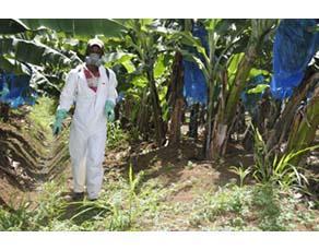 Épandage d'un produit phytosanitaire dans une bananeraie