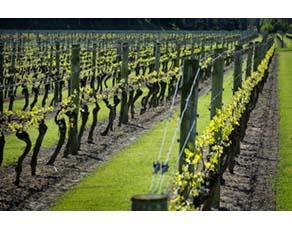 Bandes enherbées entre des rangs de vignes dans un modèle agricole de type extensif