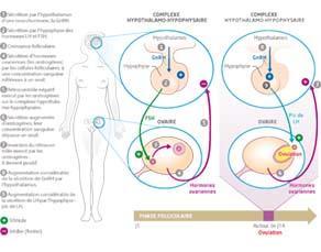 La régulation de l'activité ovarienne jusqu'à l'ovulation, par un dispositif neuroendocrinien