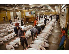 Étal d'un marché vendant du thon rouge