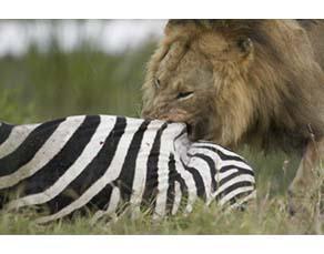 Lion en train de se nourrir d'un zèbre