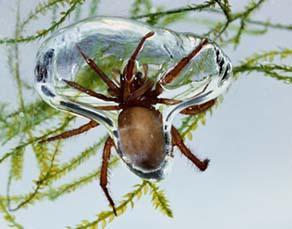 Argyronète dans sa bulle d'air sous l'eau