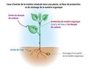 Lieux d'entrée de la matière minérale dans une plante, et lieux de production et de stockage de la matière organique