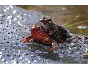 Accouplement de grenouilles rousses