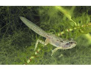 Têtard de grenouille rousse en cours de métamorphose