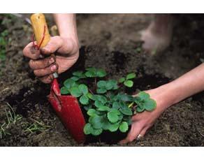 Fraisier en train d'être planté en pleine terre