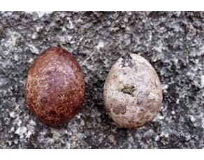 Oeuf de faucon pèlerin normal et œuf de faucon pèlerin soumis au DDT