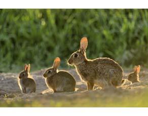 Une lapine et ses petits