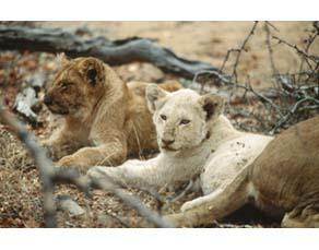 Diversité du pelage chez les lionceaux