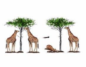 Illustration de la théorie de la sélection naturelle de Darwin avec des girafes