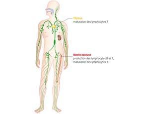Localisation des organes responsables de la production et de la maturation des lymphocytes B et T