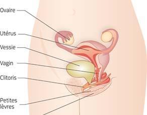 L'appareil reproducteur féminin, avec organes externes