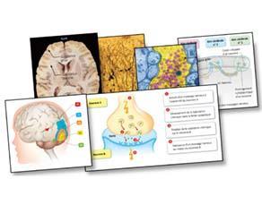 Une communication entre les zones cérébrales