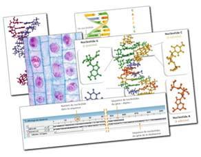 Les gènes, des morceaux d'ADN