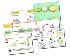 Un métabolisme variable selon les cellules